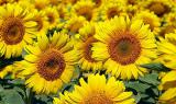 насіння соняшника гібрид - Солтан