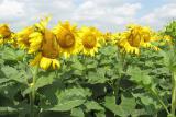 насіння соняшника - Ауріс , гібрид стійкий до гранстару, витримує 50 г/га