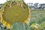 """семена подсолнечника """"Аракар"""". под евролайтинг"""