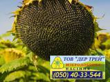 Семена подсолнечника Златсон, от семеноводческой компании Дер Трей 2017