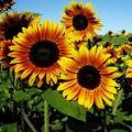 Продам семена Подсолнух Краски Осени