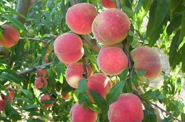 Персики рассада продажа 11