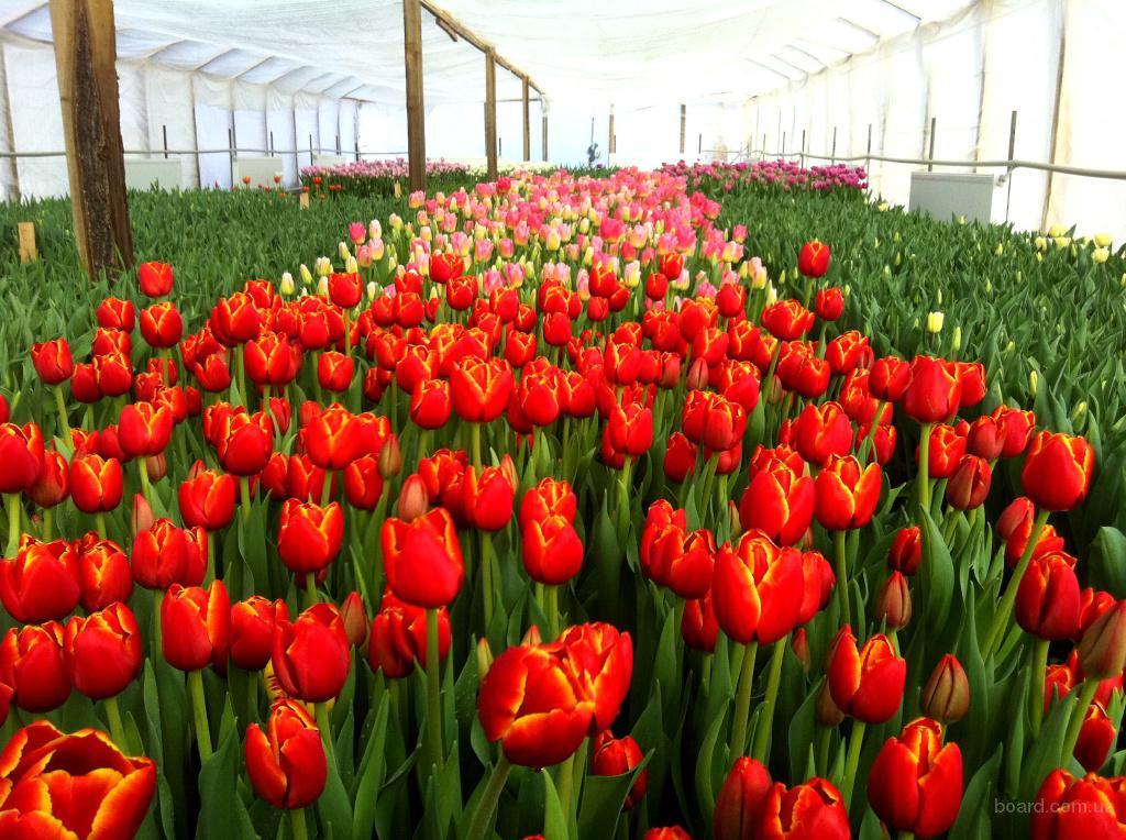 Продажа цветов тюльпан оптом киев