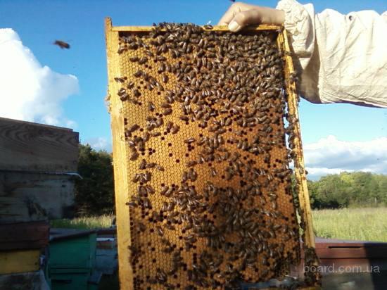 Карпатская порода пчел отличается миролюбием, подходит gismeteo прогноз на 2 недели.