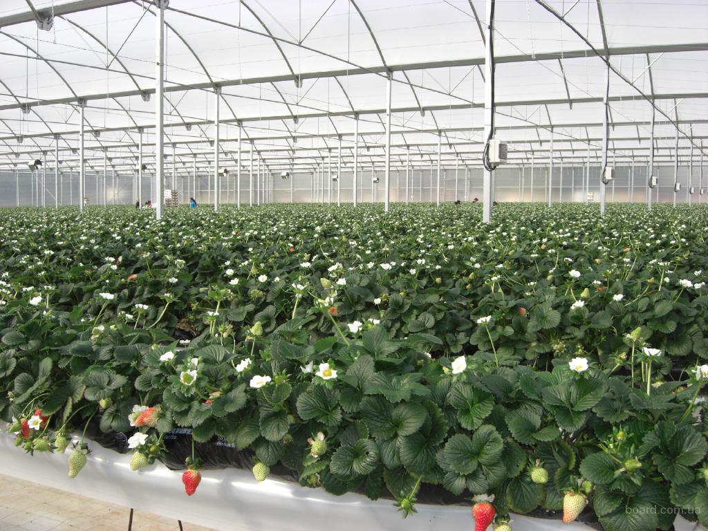 Где выращивают цикорий в промышленных масштабах