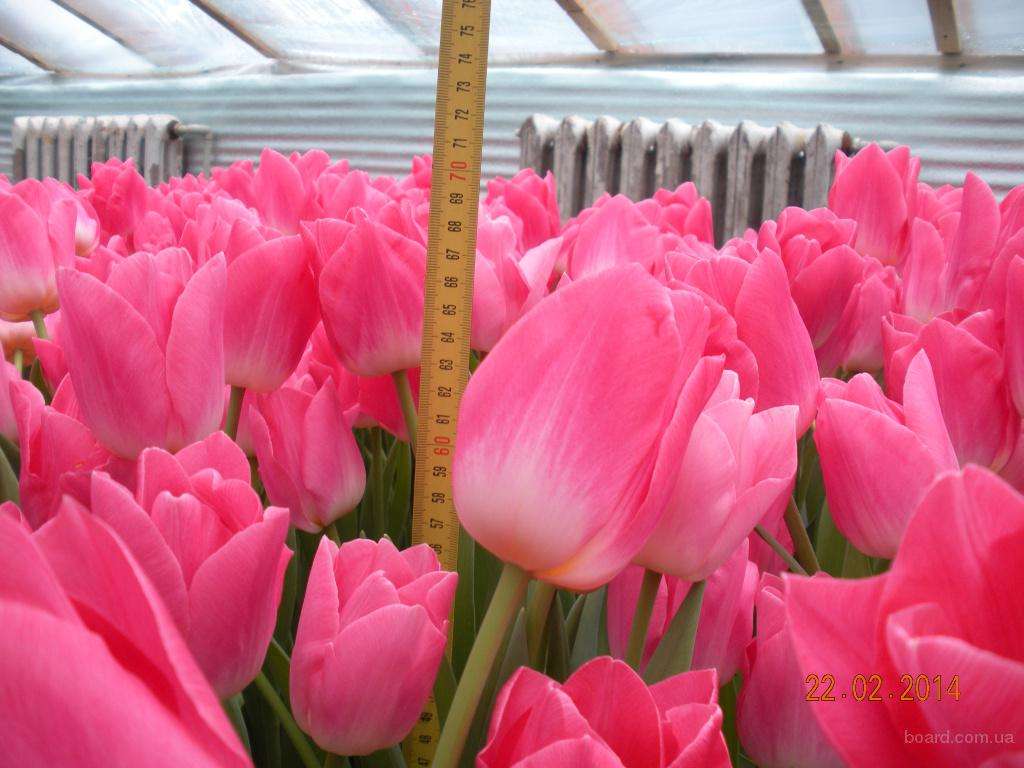 Цветы, продажа цветов тюльпан оптом киев
